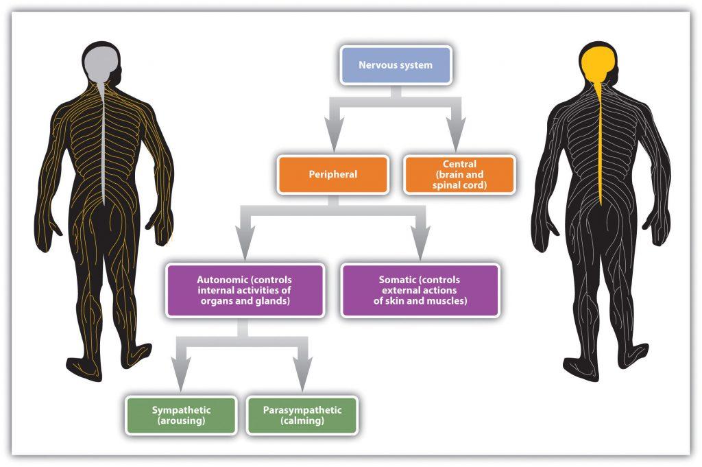 The nervous system. Long description available