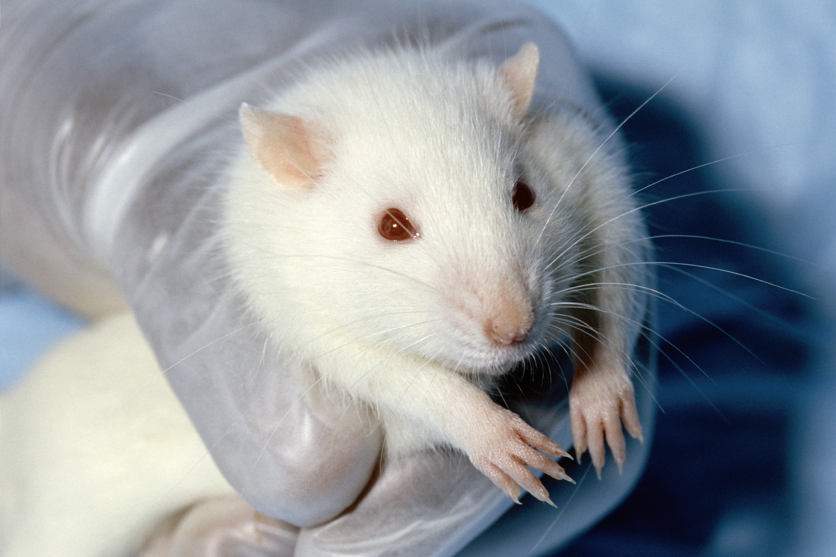 An gloved hand holds a white rat.