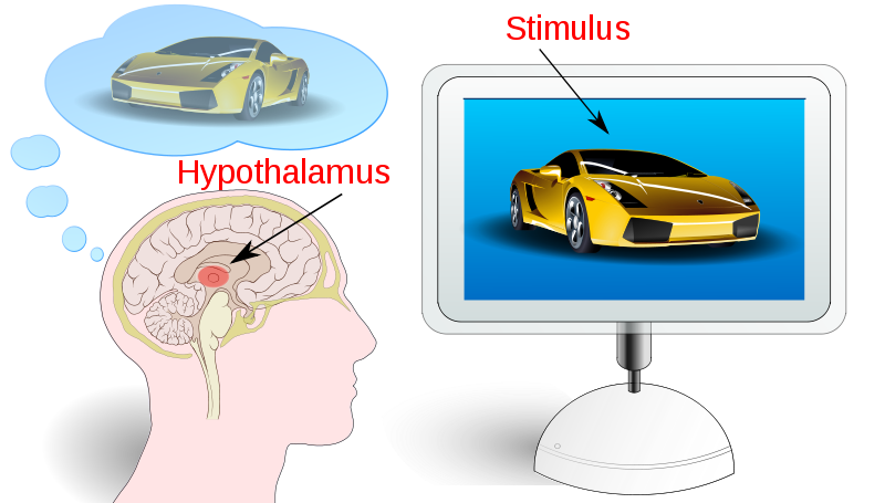 A fancy, fast car in an advertisement stimulates the hypothalams in the brain.
