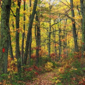 A narrow path covered in leaves passes through a forest.