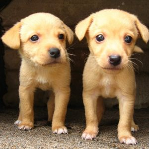 "Two nearly identical puppies stand side by side."" title=""Two nearly identical puppies stand side by side."